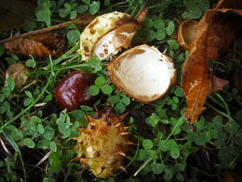 Photo of fallen conker